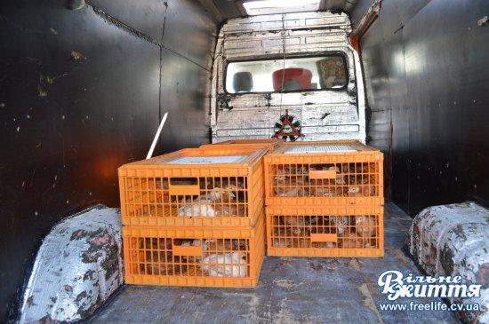 В Чорториї роздали курчат взамін знищених курей