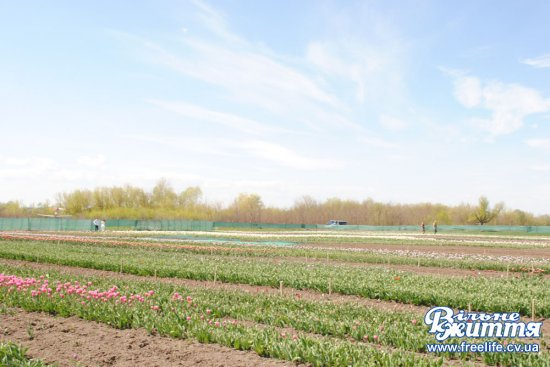 В Лужанах на Кіцманщині розцвіло тюльпанове поле (ФОТО)