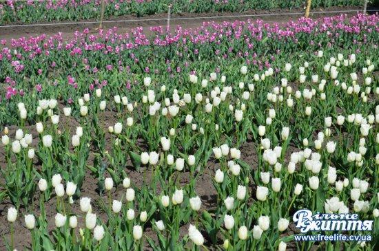Багато відвідувачів приїжджають помилуватися тюльпановим полем у Лужанах (ФОТОРЕПОРТАЖ)