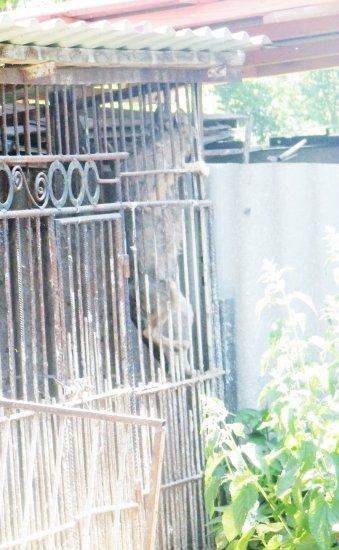 В Ошихлібах у клітці утримують вовків