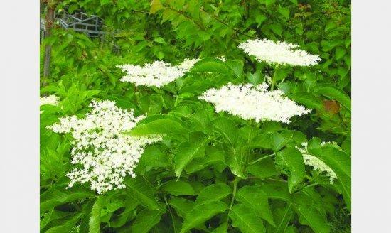 Час заготовляти цвіт бузини – ліки проти запалень та багатьох хвороб