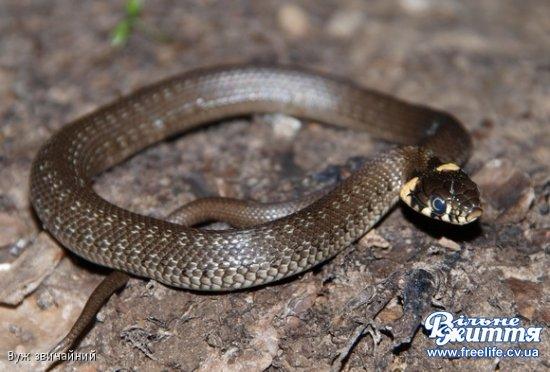 На Кіцманщині все частіше стикаються зі зміями