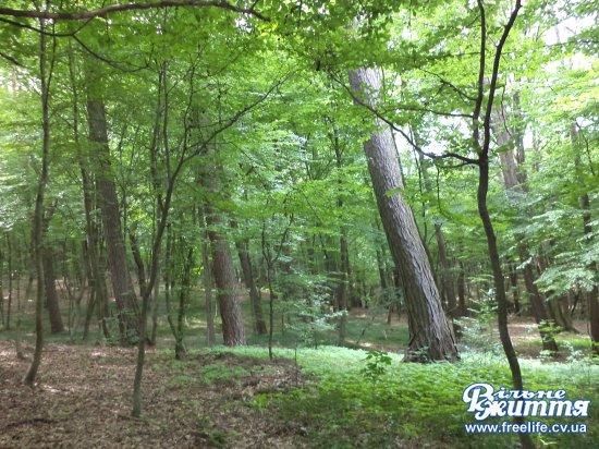 У Кіцманському лісі знову планують рубати дерева: жителі міста проти, лісники кажуть, що це планова рубка догляду (відео)