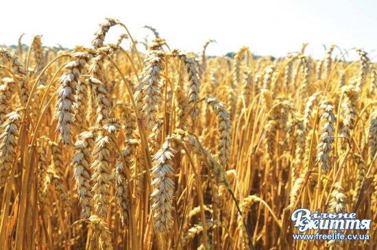 Збирають понад 90 центнерів пшениці з гектара  на полях агрофірми «Оршівська»