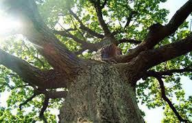 Лісівники закликають кіцманських активістів допомогти встановити крадіїв дубів з місцевого лісу