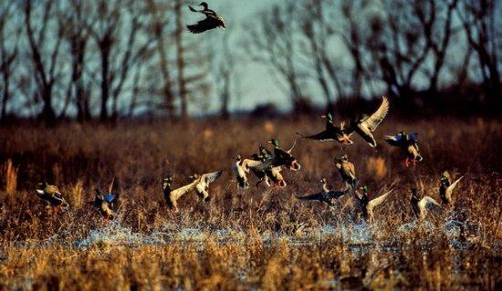 12 серпня відкривається сезон полювання на пернатих: поліція нагадує про відповідальність за порушення