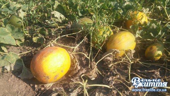 Кавуни, дині та різні овочі —  усе з власного городу