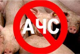 Африканську чуму свиней виявили вже за 20 кілометрів від Кіцманщини