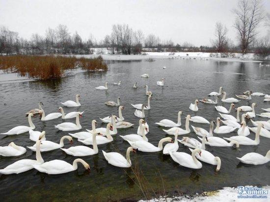 Із сильними морозами лебедів на Чорторийських озерах побільшало