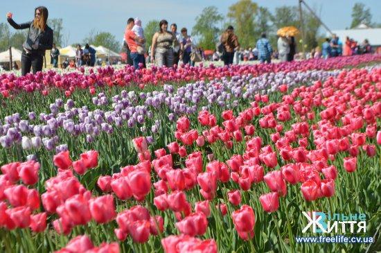 На першому «Фестивалі тюльпанів» у Мамаївцях був аншлаг (ФОТО)