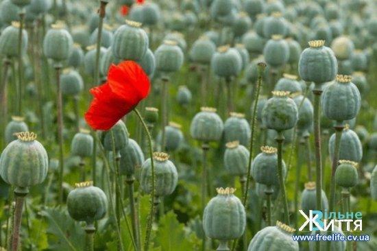 За посів і вирощування маку настає відповідальність