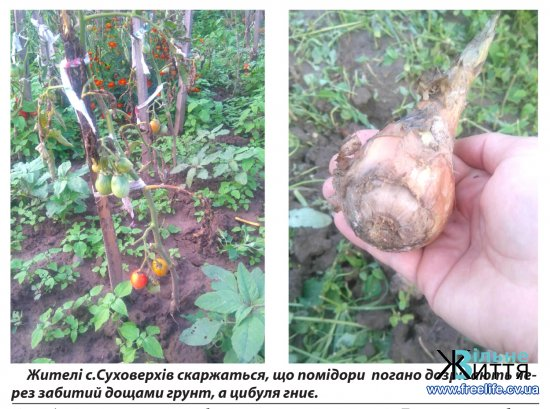 Дощове літо: чи буде урожай на Кіцманщині?