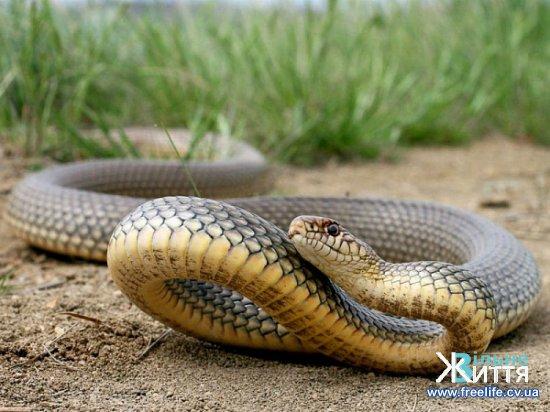 До  Кіцманської ЦРЛ із діагнозом укус змії потрапив чоловік