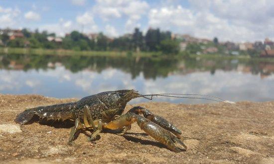 Із 15 серпня заборонено ловити раків у Чернівецькій області