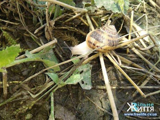 Їстівних  равликів вирощують на сімейній фермі поблизу Мамаївців на Кіцманщині