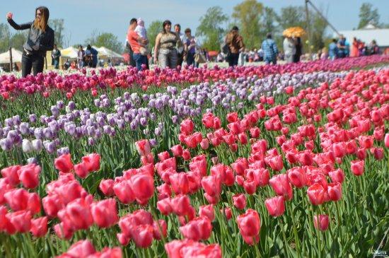 Тюльпани на Кіцмащині: цієї весни помилуватися квітами можна буде в Мамаївцях і в Реваківцях