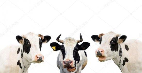 Маєте три корови? Можете отримати по тисячі допомоги за кожну