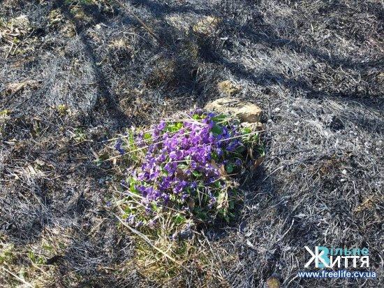 Через підпал сухої трави ледь не загорівся Кіцманський ліс